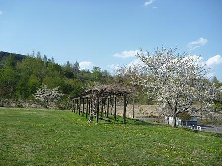 八幡平市さくら公園の桜03(2011.5.16)