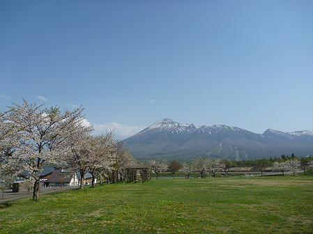 八幡平市さくら公園の桜04(2011.5.16)
