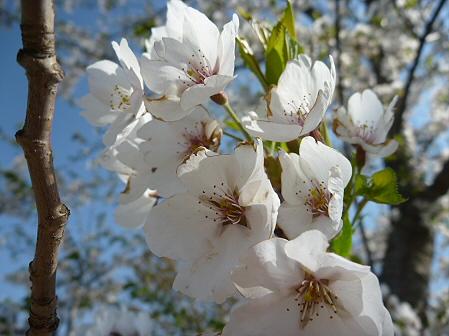 八幡平市さくら公園の桜05(2011.5.16)