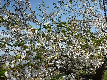八幡平市さくら公園の桜06(2011.5.16)