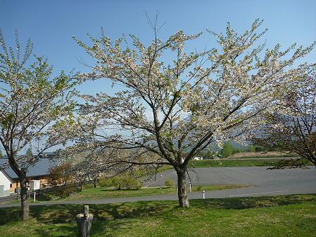 八幡平市さくら公園の桜07(2011.5.16)