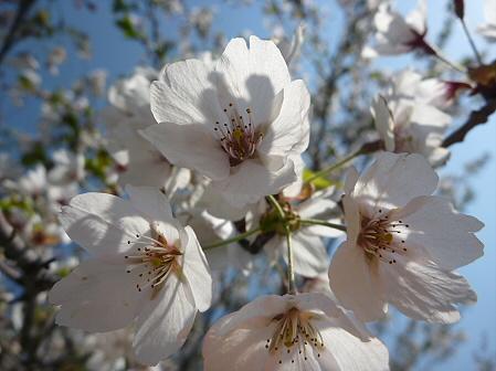 八幡平市さくら公園の桜08(2011.5.16)