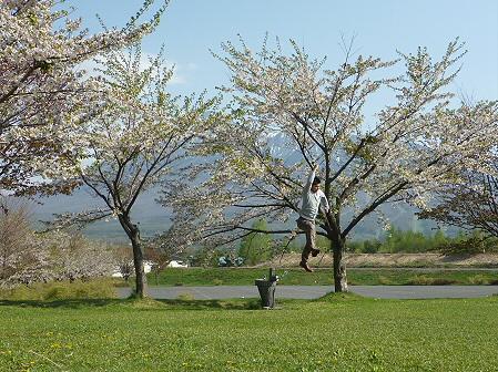八幡平市さくら公園の桜01(2011.5.16)ジャンプ!