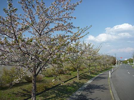 八幡平市さくら公園の桜09(2011.5.16)
