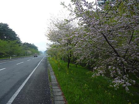 上坊牧野手前の桜並木03(2011.5.17)