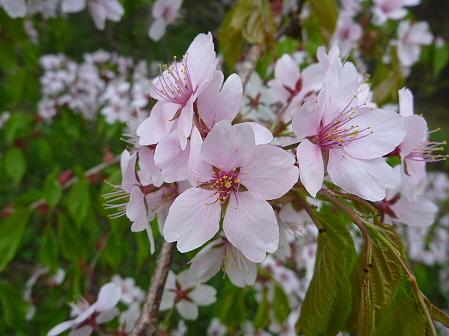 上坊牧野手前の桜並木04(2011.5.17)
