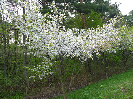 上坊牧野手前の桜並木05(2011.5.17)