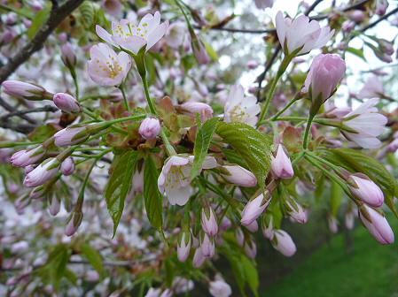 上坊牧野手前の桜並木06(2011.5.17)