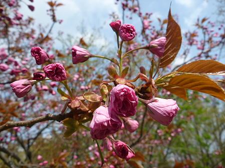 明治百年記念公園の桜03(2011.5.17)