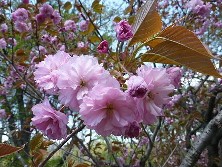 明治百年記念公園の桜06(2011.5.18)