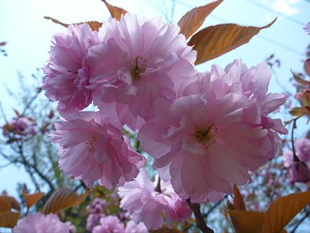 明治百年記念公園の桜07(2011.5.18)
