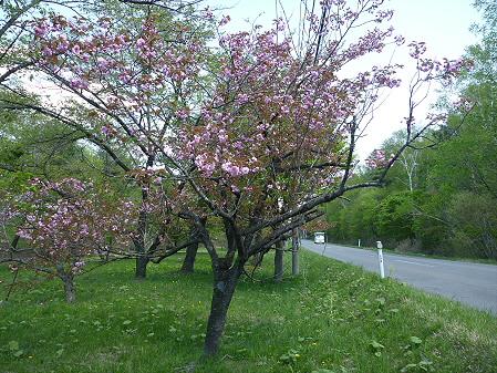 明治百年記念公園の桜05(2011.5.18)