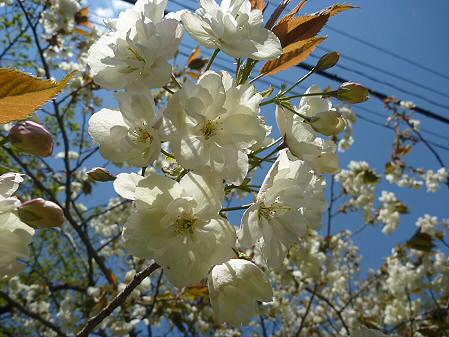 明治百年記念公園の桜09(2011.5.18)