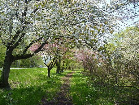 明治百年記念公園の桜10(2011.5.18)