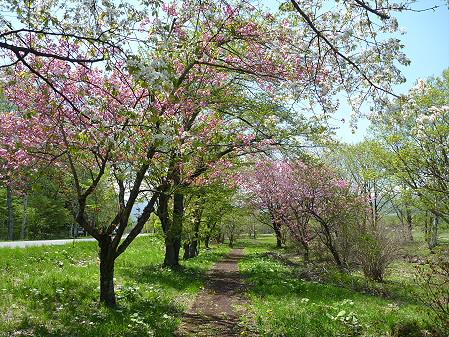 明治百年記念公園の桜11(2011.5.18)