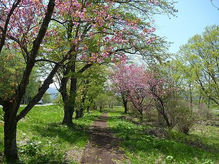明治百年記念公園の桜12(2011.5.18)