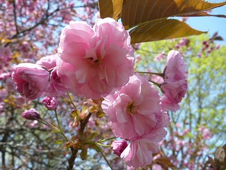 明治百年記念公園の桜13(2011.5.18)