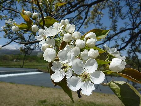明治百年記念公園の桜03(2011.5.18)