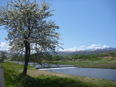 明治百年記念公園の桜02(2011.5.18)