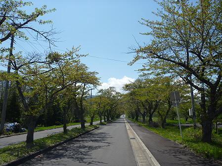 八幡平トラウトガーデンの桜03(2011.5.18)