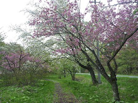 明治百年記念公園の桜01(2011.5.19)