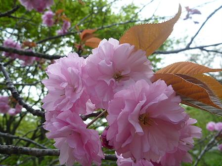明治百年記念公園の桜02(2011.5.19)