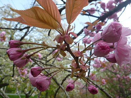 明治百年記念公園の桜03(2011.5.19)