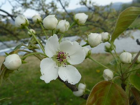 明治百年記念公園の桜05(2011.5.19)
