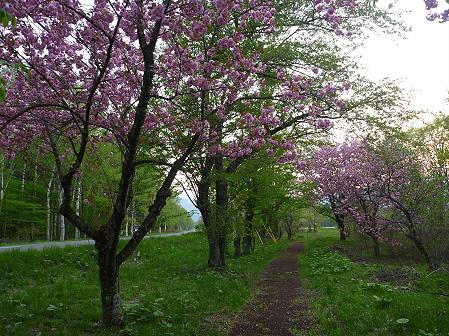 明治百年記念公園の桜08(2011.5.19)