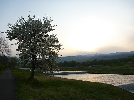 明治百年記念公園の桜09(2011.5.19)