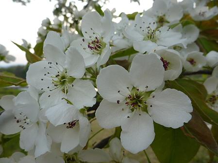 明治百年記念公園の桜10(2011.5.19)