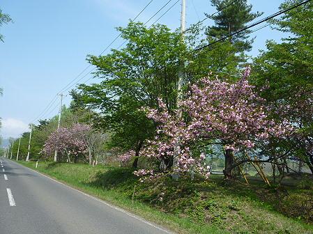 明治百年記念公園の桜01(2011.5.20)