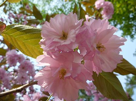 明治百年記念公園の桜02(2011.5.20)