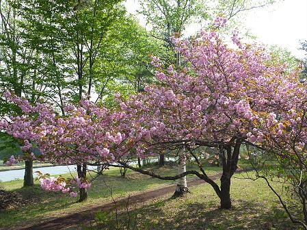 明治百年記念公園の桜03(2011.5.20)