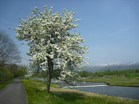 明治百年記念公園の桜04(2011.5.20)
