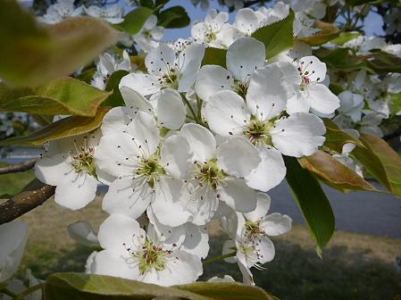 明治百年記念公園の桜05(2011.5.20)