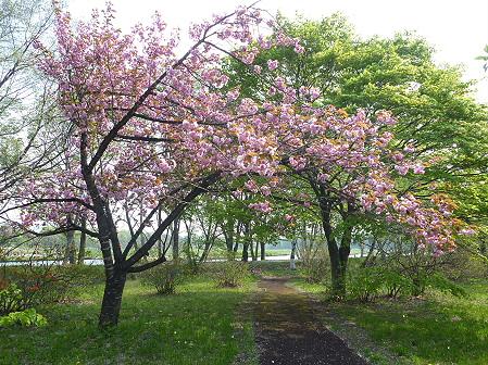 明治百年記念公園の桜06(2011.5.20)