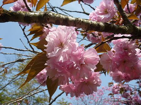明治百年記念公園の桜07(2011.5.20)