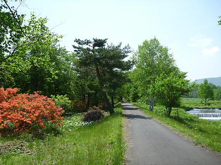 明治百年記念公園14(2011.5.31)ツツジ
