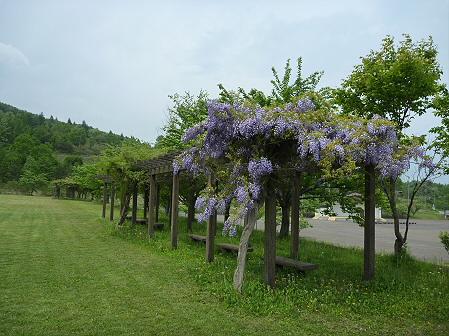 八幡平市桜公園の様子02(2011.6.4)
