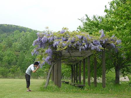 八幡平市桜公園の様子01(2011.6.4)