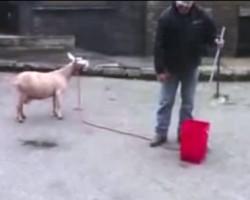 goat screaming