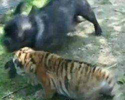 ブルドッグ loves トラ