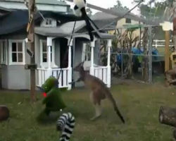 Video of Kangaroo Fights His Toy