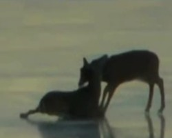 Helicopter blew deer to safety after it became stranded on ice in frozen harbour