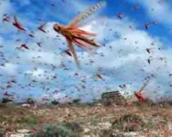 SWARMS OF MILLIONS OF LOCUST PLAGUE CAIRO