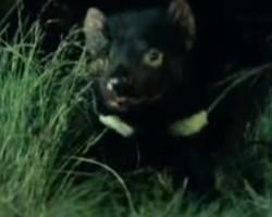 BBC News Tasmanian devil cancer vaccine a step closer