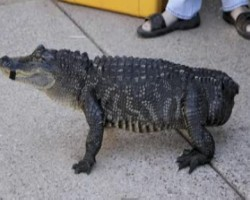 Phoenix group gives alligator a prosthetic tail