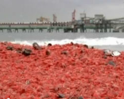 Thousands of dead prawns washed up on beach in Chile