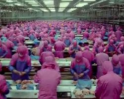 Bizarre meat industry: machine 'sucks up' live chickens